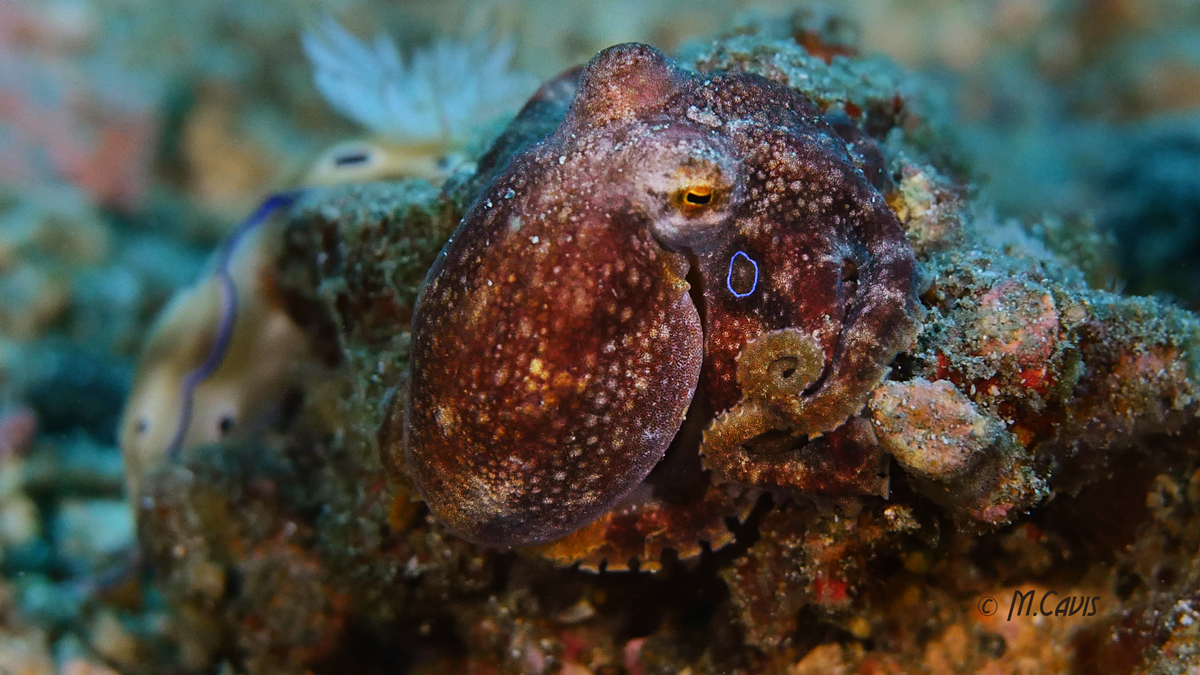 Lembeh-Day1-Octo-Coco