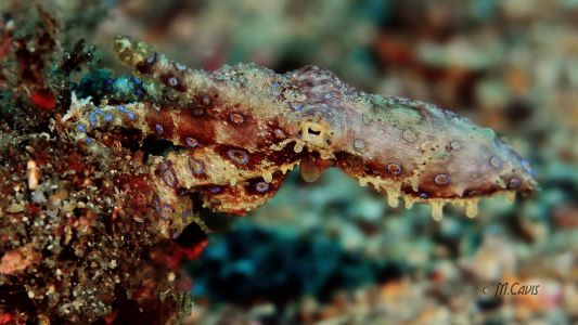 Lembeh-Day1-Octo-BR